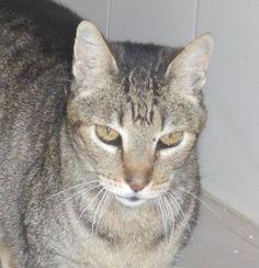 Helfende Hände e.V. - Katze Falco (Orientalen-Mix ca. 3 Jahre) sucht ein Zuhause | Steckbrief Nr. 96460
