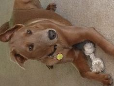 Enzo - 15 months old - Doberman/Chow Chow Mix......sweetest little boy ever!!! Loves his momma!!