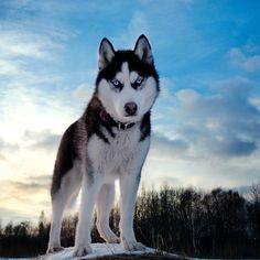 Le Husky, Siberian Husky Dog, Husky Puppy, Alaskan Husky, Haski Dog, Boy Dog Names, Dangerous Dogs, Snow Dogs, Dog Wallpaper