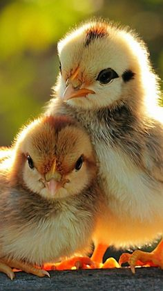 chicks...just love! Reminds me of my childhood with our hens and their babies.