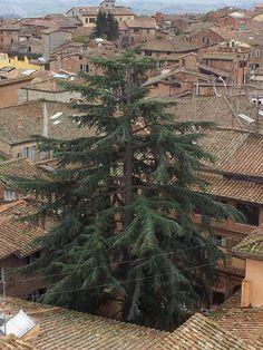 Un abete svetta su Siena