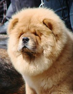 "Chow - Chow...Dog , ""... that licked the edge of the sky ..."""
