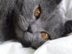 Joséphine, my pure race Chartreux born at home (also care of her parents) Chartreux Cat, Nebelung, Grey Cats, Blue Cats, Animals And Pets, Cute Animals, Pet Shop Online, Himalaya, Photo Chat