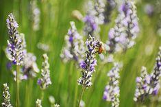 Tasting Room, Napa Valley, Bees, Summertime, Lavender, Join, Yard, Flowers, Shop