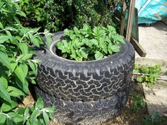Weekly winner: Rachel Harding finds an alternative use for old tyres with her new potatoes
