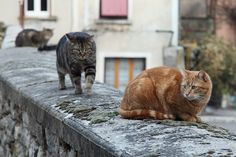 https://flic.kr/p/bGBE9D | Here comes trouble? | The three male cats were on the garden wall looking at the goings on in this particular French village. Then Brioche decided to pay Ginger a visit. Despite his aggressive swagger, they are great friends. He was just changing position to get a better view of what as passing by. Meanwhile Flappy was happy in his own little world further down the wall.