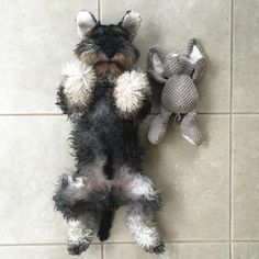 See this Instagram photo by @arlotheschnauzer • 2,165 likes