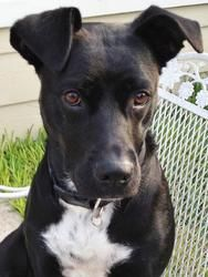 Sissy is an adoptable American Staffordshire Terrier Dog in Stafford, TX. Estimated date of birth: 9/17/00 Current weight: approx. 50 lbs (full grown) Sissy is a friendly, outgoing girl who's looking ...