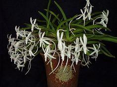 Neofinetia falcata (Amami Island)