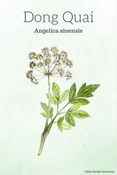 110 Vintage Art Print//Poster Botanical Herb Medicinal Masterwort