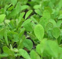 http://www.herbaldb.com/  Fenugreek is one of our main topics in HerbalDB.com so come visit us!