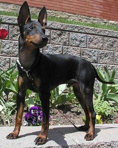 Manchester Terrier - Standard
