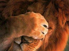 Face palm, lion-style. Love it!