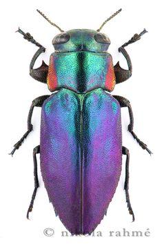 Chrysobothris astartae Abeille de Perrin, 1895 (Moroccan jewel beetle) by Nikola Rahme