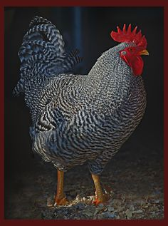 Incredibly Handsome Barred Plymouth Rock Rooster   Photo by Frederick Dunn