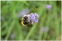 bumblebee hunting :D I looveeee these bugs :)