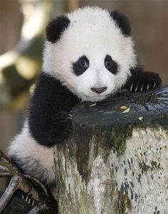 ❤️ Panda Cutie !!!