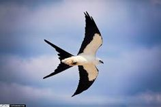 everglades kite - Google Search