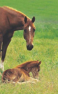 Montana Travler Horse Breed