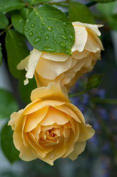 Rosa 'Graham Thomas', a David Austin English rose