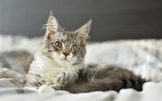 Indir duvar kağıdı Maine Coon, kedi, gri kedi, hayvan, sevimli hayvanlar https://www.facebook.com/Mainecoonguide/posts/1975719376033701