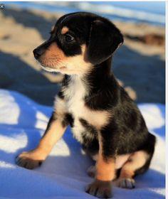 Busky  #Husky+beagle