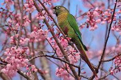 Tiriba-de-testa-vermelha / Maroon-bellied Parakeet by ahkawaguti, via Flickr