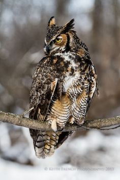 Great Horned Owl by Keith French Sr. #Animal #Animals #Wildlife #Nature #Owl #Owls