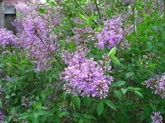 Growing and maintaining lilac bushes - make great privacy barriers