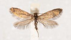 """Living dinosaur"" moth discovered in Australia - CBS News"