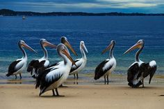 Pelicans on the beach Photo by Philippe Reichert -- National Geographic Your Shot