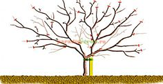 Apples and pears: winter pruning/RHS Gardening - pruning diagram for a mature spur bearing apple tree