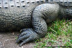 Alligator Foot