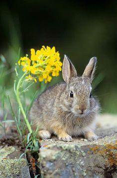 Mountain cottontail (Sylvilagus nuttallii) bunny on rock near flower by Daniel J Cox on Getty Images