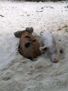 Photography Bahamas Pigs Snoozing Piglets on by WoodGlassAndPaper
