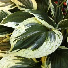 A Long time favorite hosta. love the splash of green mixed in the white margins.   Buy Hosta Independence Perennial Plants Online. Garden Crossings Online Garden Center offers a large selection of Hosta Plants. Shop our Online Perennial catalog today!