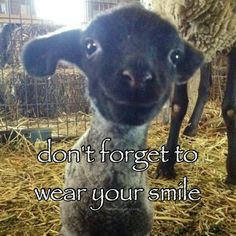An adorable face, reminds me of the lamb my daughter raised for 4-H.