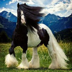 Gypsy Cob horse/ Irish Cob/Gypsy Vanner/Tinker Horse So many names= one of THE most beautiful of horse breeds Most Beautiful Horses, All The Pretty Horses, Beautiful Beautiful, Naturally Beautiful, Beautiful Pictures, Beautiful Creatures, Animals Beautiful, Cute Animals, Black Animals