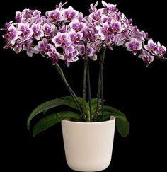Orchideeen-shop.nl - Phalaenopsis SOGO Twinkle Abudance