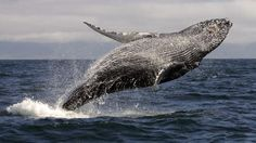 Why whale poo is good for the oceans... and us.  Interesting information and great whale images and video.