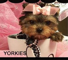 Teacup Puppies for Sale , Buy your dog at Teacup Puppies Store located in south florida. We specialize in Teacup Puppies and a World Class Dog Boutique. Find your Teacup Puppy or Dog for sale at Teacup Puppies Store Teacup Poodle Puppies, Teacup Yorkie For Sale, Morkie Puppies, Yorkie Puppy, Toy Puppies, Little Puppies, Yorkies, Mini Yorkie, Mini Puppies