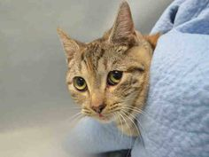 AVA – A1098436 Sweetes kitten in blanket on death list today! If you would like to foster or adopt and can't make it to the shelter, please write an email NOW to the Urgent Help Desk at Helpcats@Urgentpodr.org Their experienced volunteers will assist you one-on-one with rescues and the application process. Transport can be arranged by rescues to the homes of approved fosters or adopters within 3-4 hours of New York City