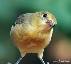 """Baby Oriole trying to figure out just what that guy with the camera is up to."" photographer Bruce Huss, Wichita KS."