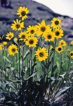Nicksolros, Papaver rhoeas   Nätt solros med gula blommor på höga stänglar. De smala grågröna bladen växer i marknivå, vilket lyfter fram blommorna. Älskas av fjärilar på sommaren och av småfåglarna på vintern. Blommar juni– september. Trivs i soligt till halvskuggigt läge.Höjd 100 cm. Flerårig växt. älskas av fjärilarna