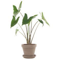 Alocasia zebrina, tropische groenblijvende kamerplant, dankt zijn naam aan zijn steel met tijgerprint.