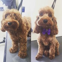 -repinned- Before & after dog grooming photos