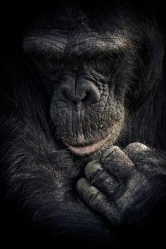 Chimpanzee Sanctuary in Ol Pejeta, Kenya animals, pets Nature Animals, Animals And Pets, Funny Animals, Cute Animals, Exotic Animals, Exotic Pets, Primates, Mammals, Cute Creatures