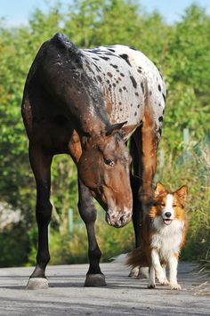 Appaloosa and collie waiting for direction.