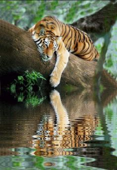 Beautiful Cats, Animals Beautiful, Beautiful Pictures, Big Cats, Cats And Kittens, Sleeping Tiger, Animals And Pets, Cute Animals, Wild Animals