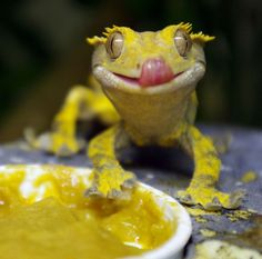8 Things You Need To Know Before You Get Your New Crested Gecko - Reptile World . - 8 Things You Need To Know Before You Get Your New Crested Gecko – Reptile World Facts. Reptiles And Amphibians, Cute Reptiles, Mammals, Crested Gecko Habitat, Crested Gecko Care, Crested Gecko Vivarium, Cute Lizard, Cute Gecko, Wild Life